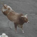 Kickin Bull